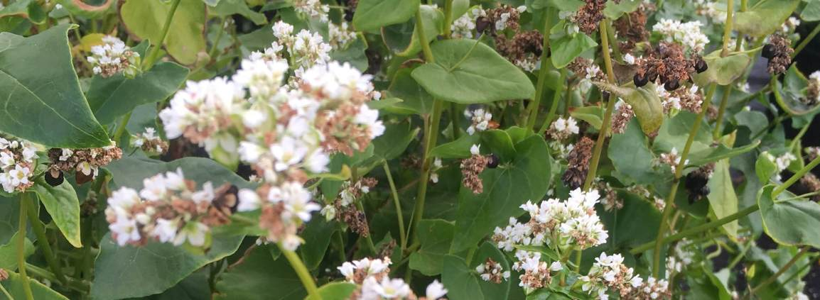 Buckwheat, the Forgotten Food for Pollinators (and Humans)