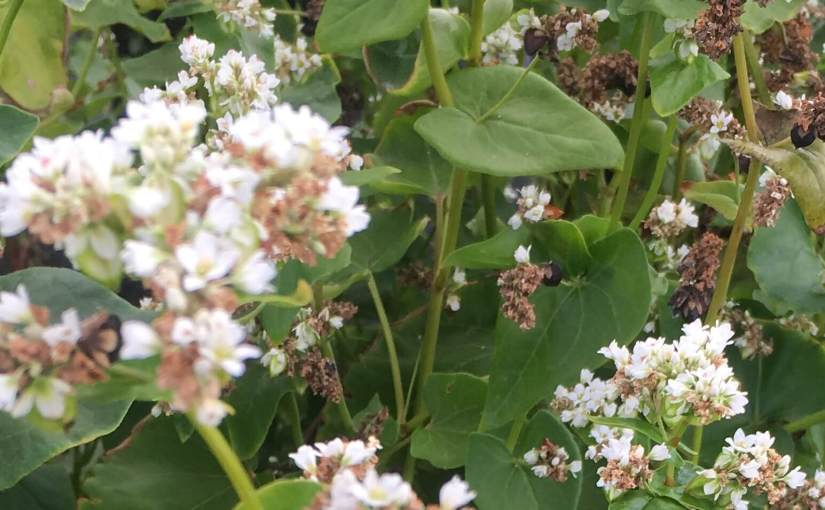 Buckwheat, the Forgotten Food for Pollinators (andHumans)